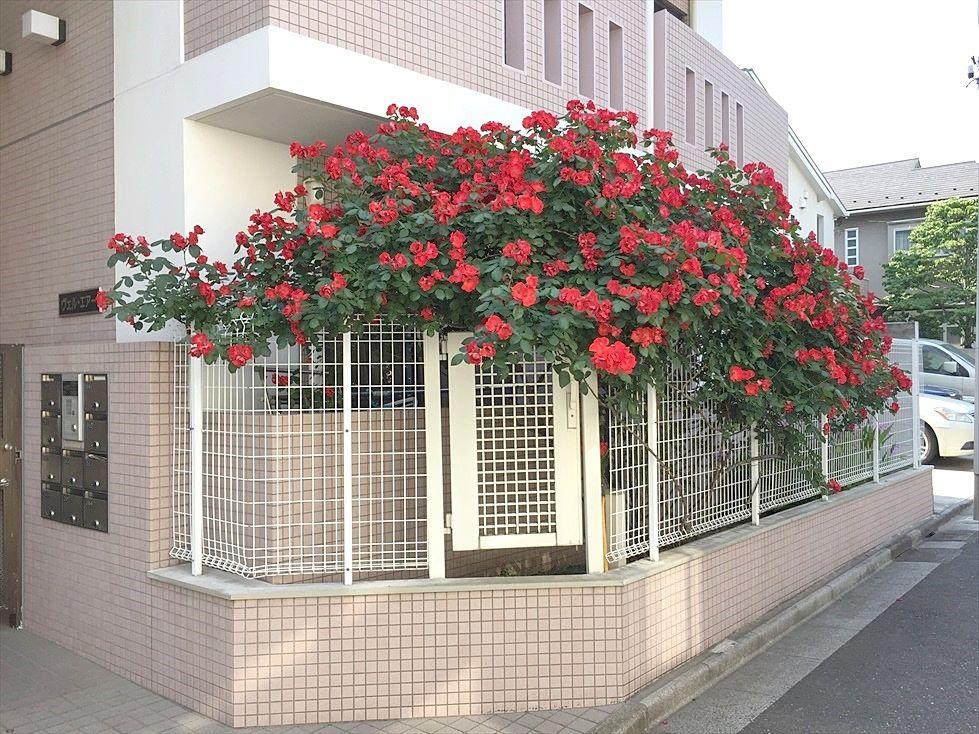 春、エントランス前の垣根は大家さんが丹精込めて育てた薔薇が咲きます