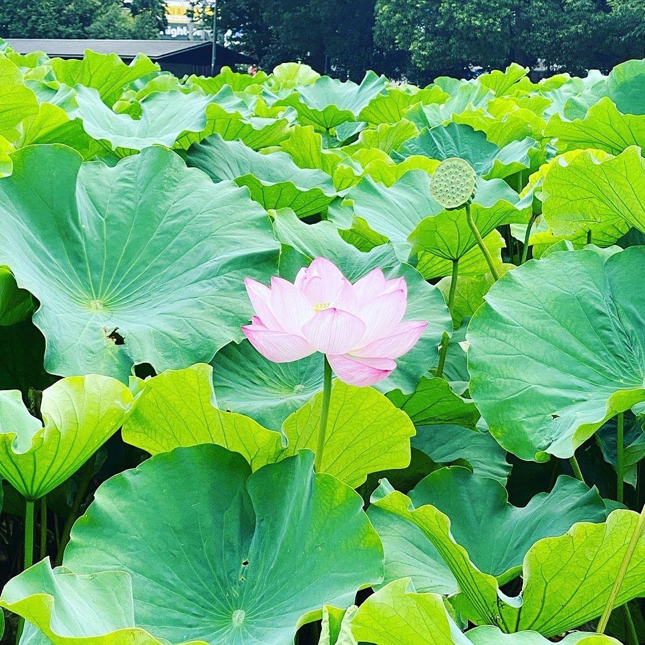 旬の花に逢いに行く〜蓮の池〜