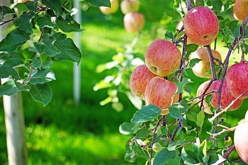 赤い実の宝石 ~リンゴが旬を迎える頃~