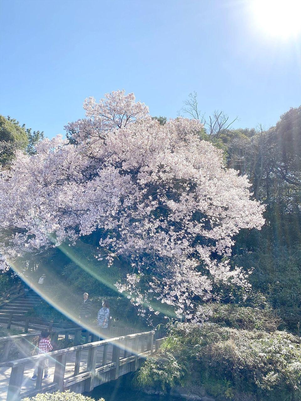 3分咲きの桜の下で