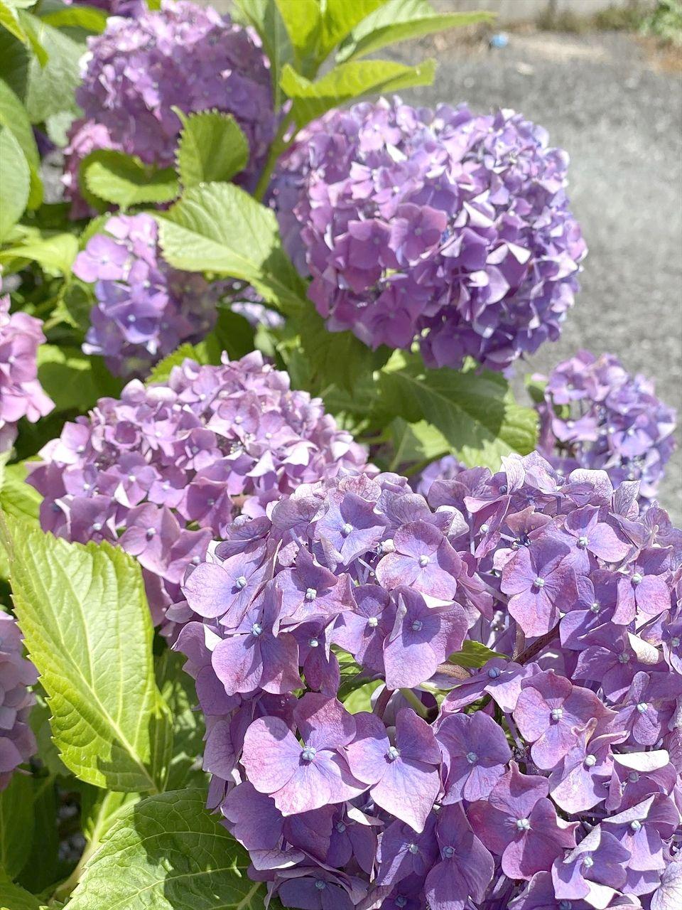 ドライブをしたときに見つけたキレイな紫陽花