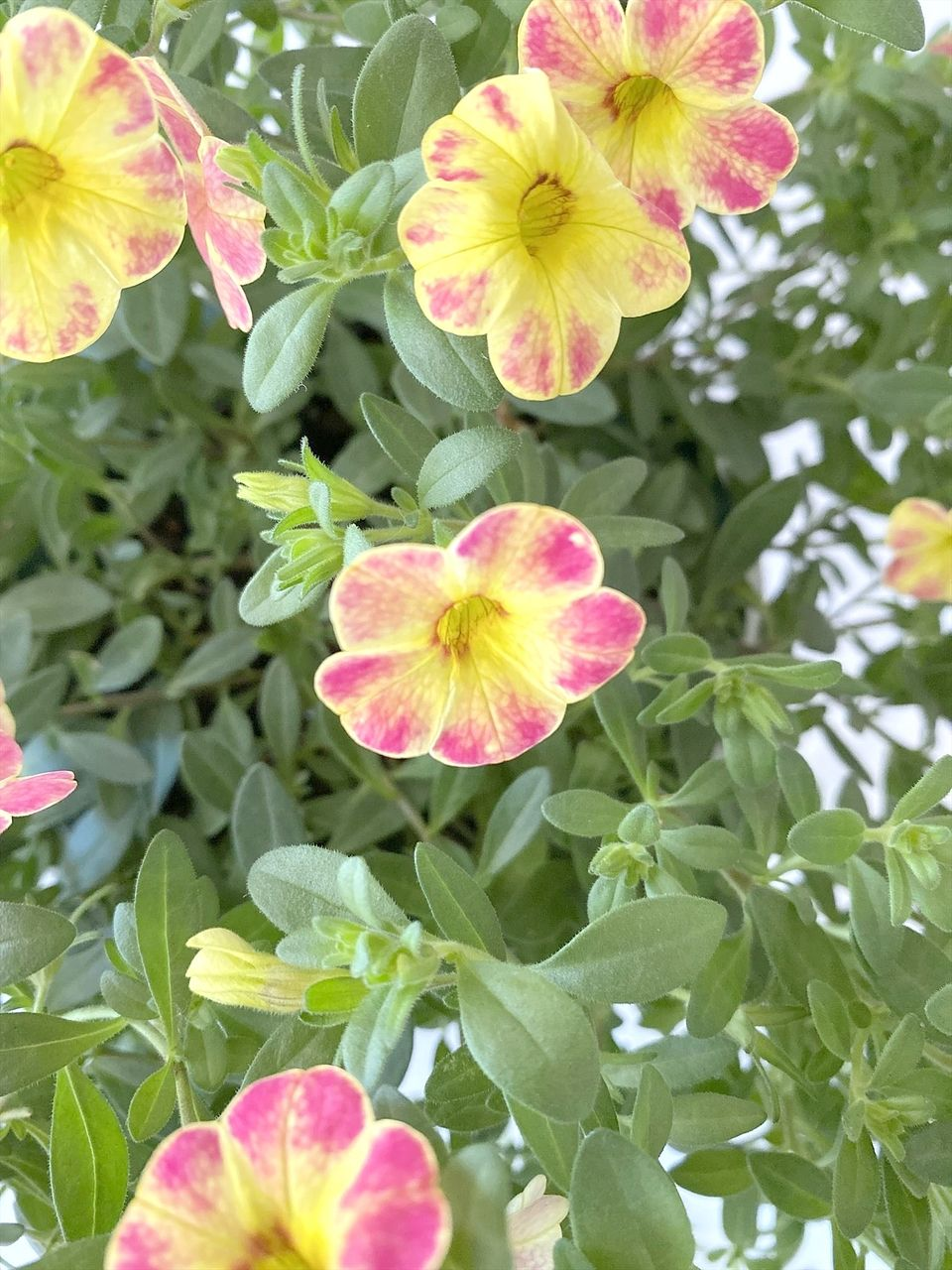 ペチュニアに似たお花です